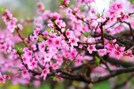 桃花属于什么花