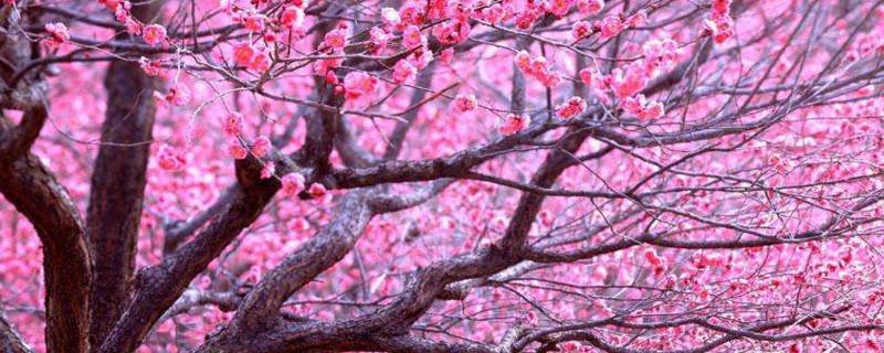 桃花是两性花还是单性花