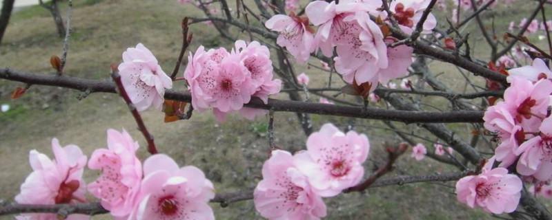 桃花是什么花