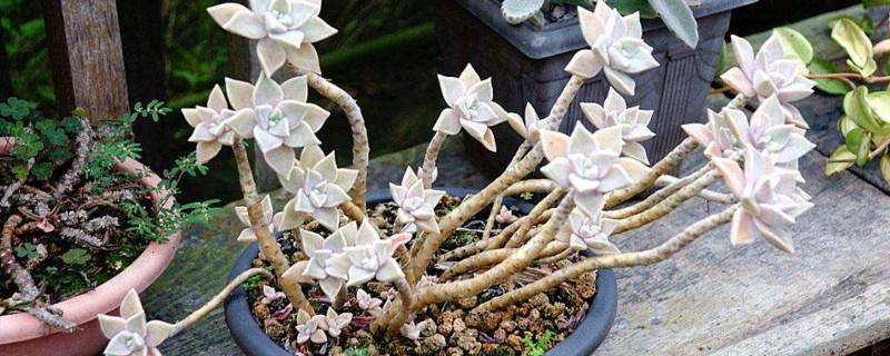宝石花用什么繁殖的