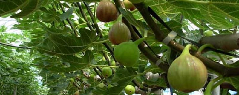 秋天有哪些水果_桑科植物有哪些