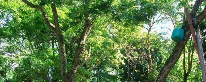 巴里黄檀是什么木
