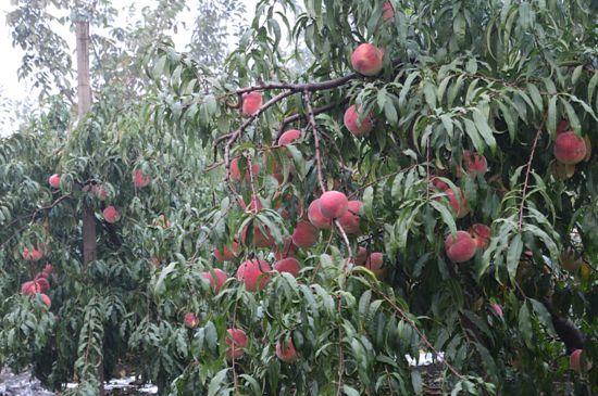 桃树管理视频_桃树控旺长新方法
