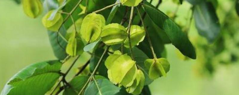 榄仁树果实能吃吗
