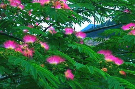 榕花树是合欢树吗
