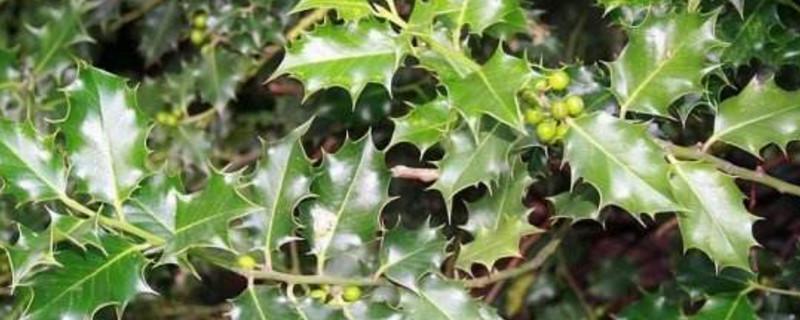 榨子树是什么树