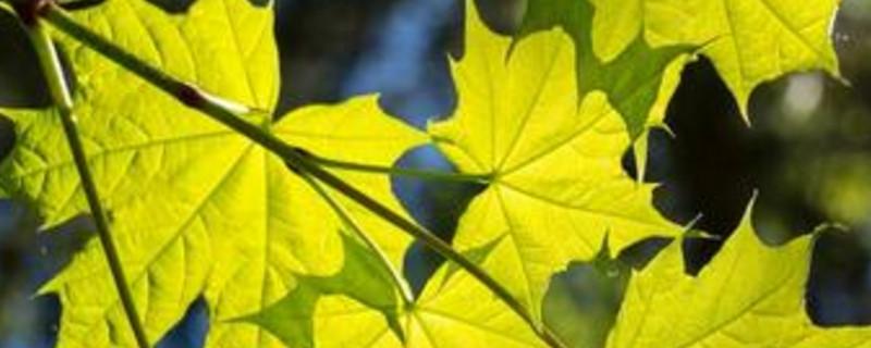 槭树果实传播方式
