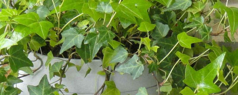常春藤有毒性吗