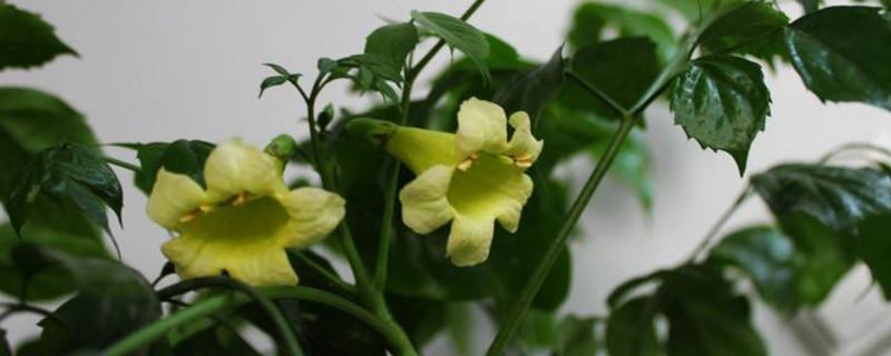 幸福树会开花吗开的花是什么