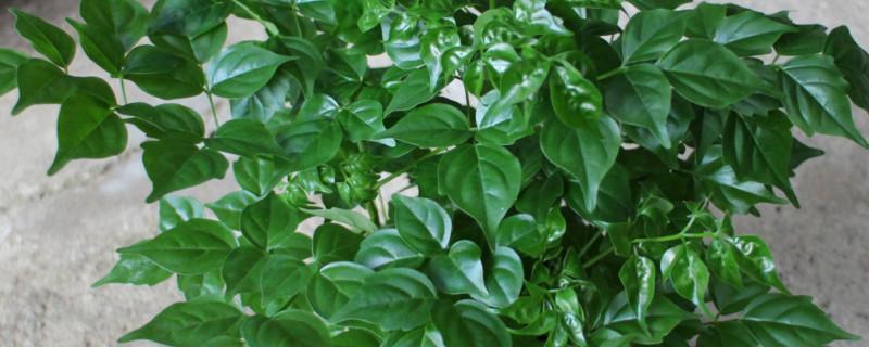 幸福树大叶小叶区别