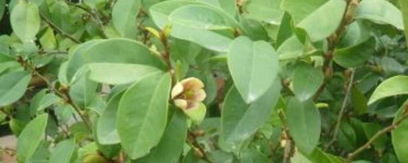 含笑花枝干变黑掉叶
