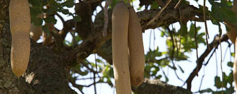 腊肠树果的食用禁忌