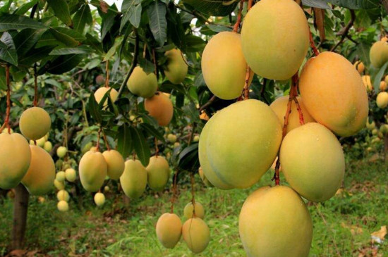 芒果树长什么样子