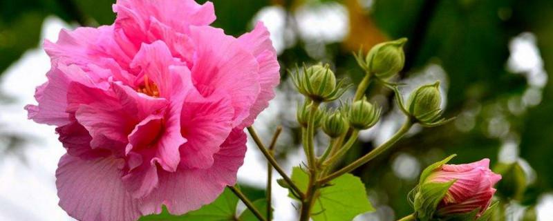 芙蓉葉子用水能生根嗎
