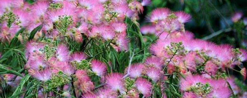 芙蓉树的花有什么用