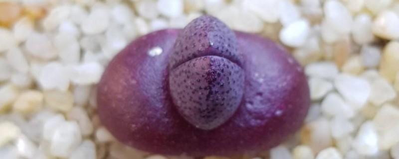 紫帝玉怎么养