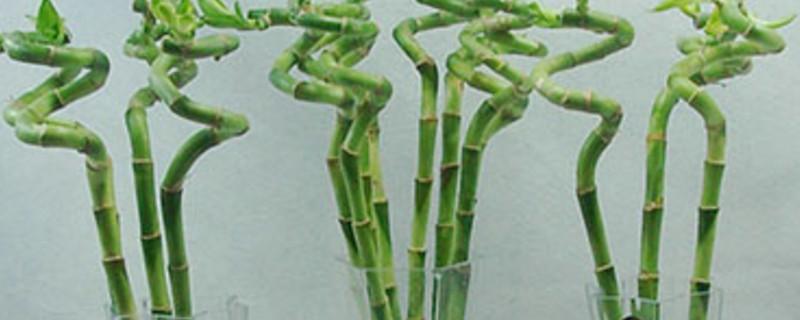 水生富贵竹长白斑