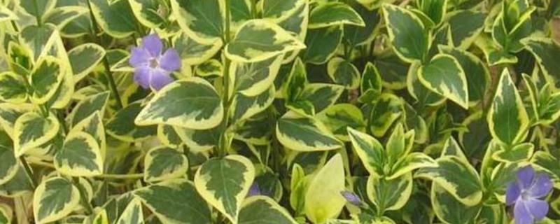 花葉蔓的養殖方法