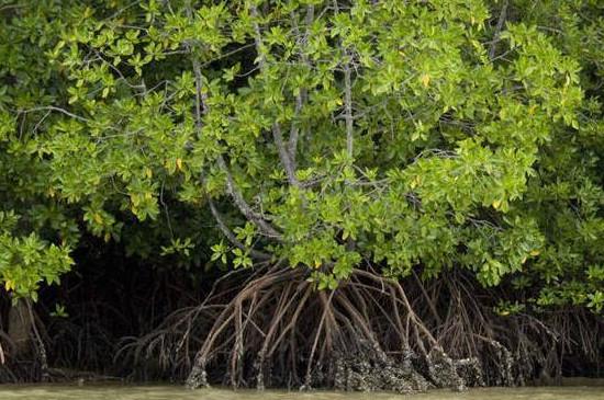 花枝木学名叫什么