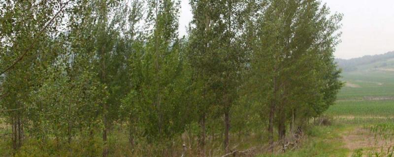 一亩杨树10年利润多少