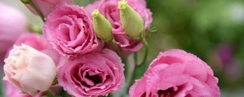 洋桔梗贵还是玫瑰贵