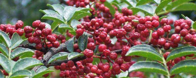 花椒成熟季节是几月份