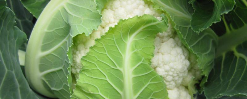 花菜是涼性的嗎