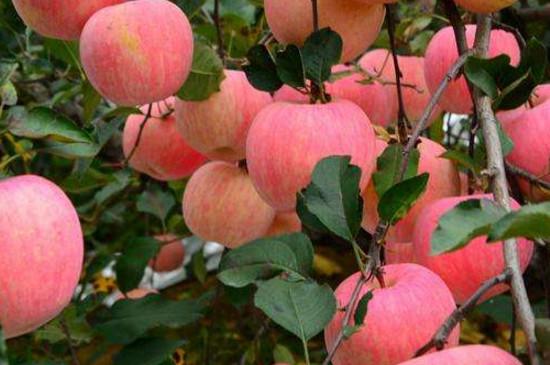 苹果树六月份管理要点
