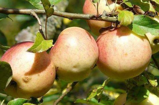 苹果树花芽分化期是什么时候