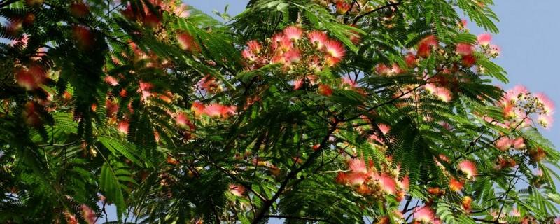 为什么芙蓉树叫鬼树