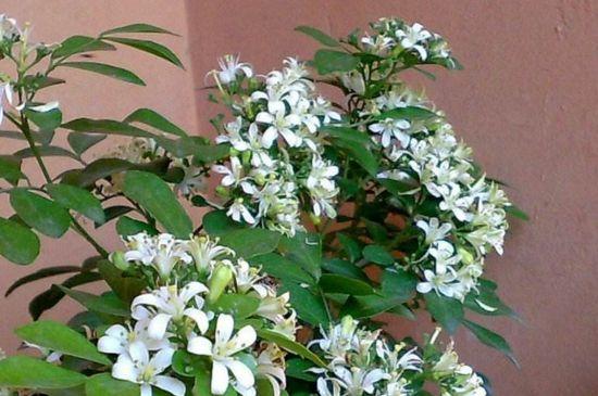 九里香一年开几次花朵