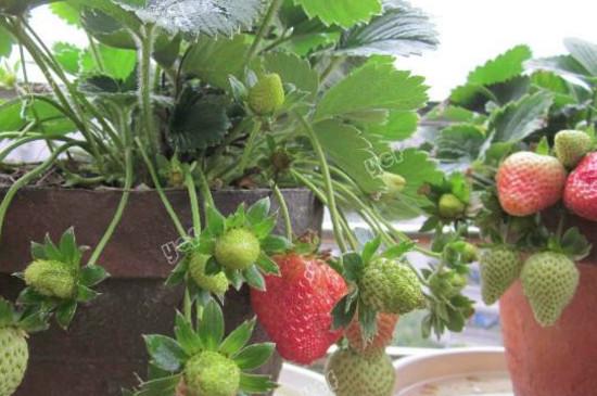 草莓匍匐茎繁殖法