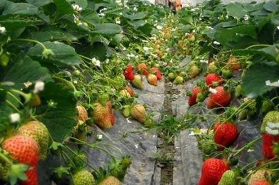 草莓根变黑了怎么办