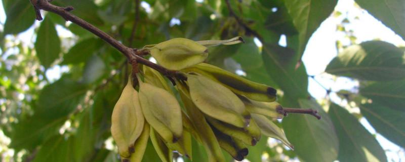 白杜树用途