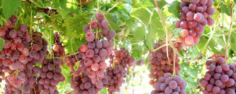 葡萄需要剪枝吗
