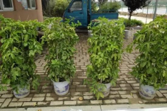 盆栽百香果造型
