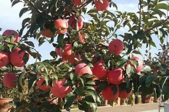 盆栽苹果树叶子发黄