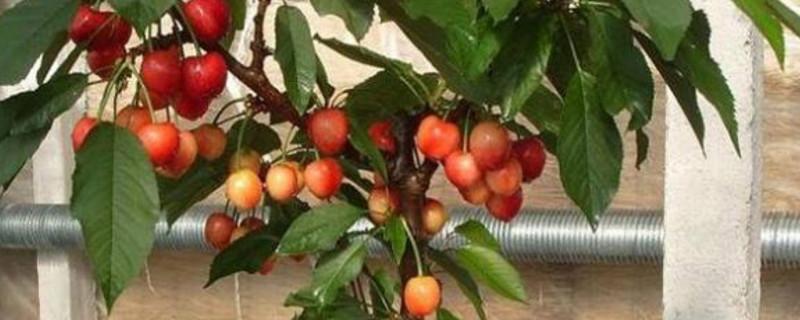 盆栽车厘子种植方法