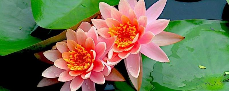 睡莲花期一朵花开几天