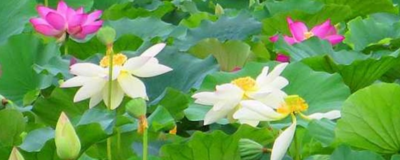 圆明园并蒂莲开花
