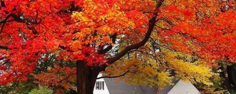 枫树叶子枯萎怎么抢救