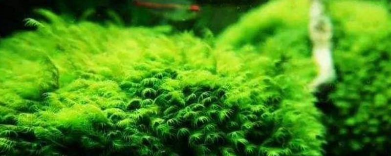 最常见的水草
