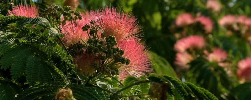 榕树花的药用价值