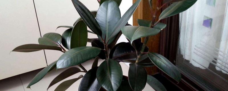 橡皮树憋芽