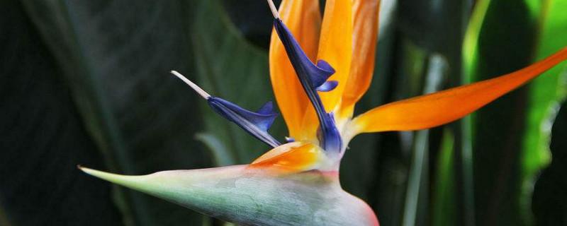 天堂鸟叶子为啥打卷