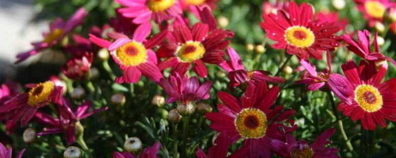 太阳花开花后怎么处理