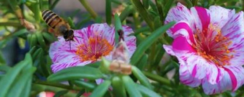 太阳花怎么养爆盆