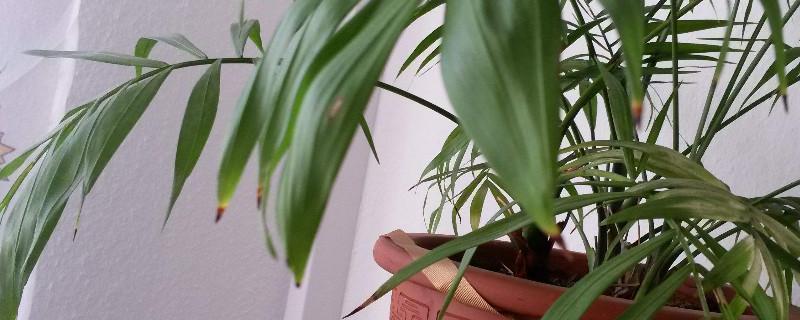 散尾葵叶子干枯能剪吗