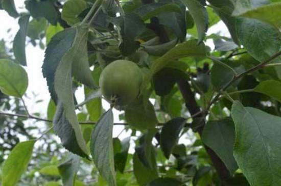 苹果树一到三年修剪