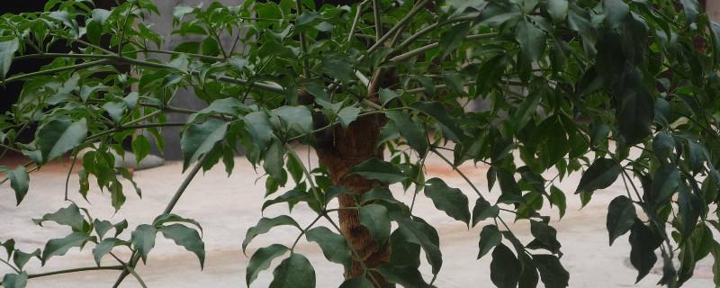幸福树截杆方法